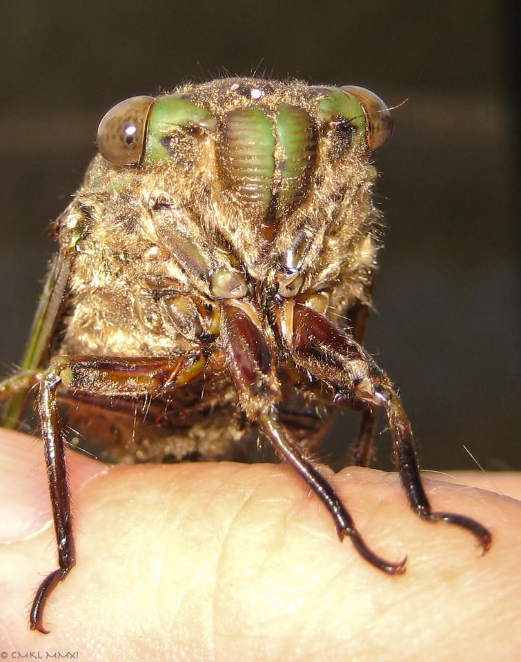 Hello Gorgeous! This is another cicada, which bumped repeatedly & hard into our windows last night. This morning, she was still laying dazed on the ground. Here she's hanging on to my thumb for dear life. Clearly visible are compound eyes, one of the 2 stubby antennae, 2 of 3 ocelli & the striated clypeus
