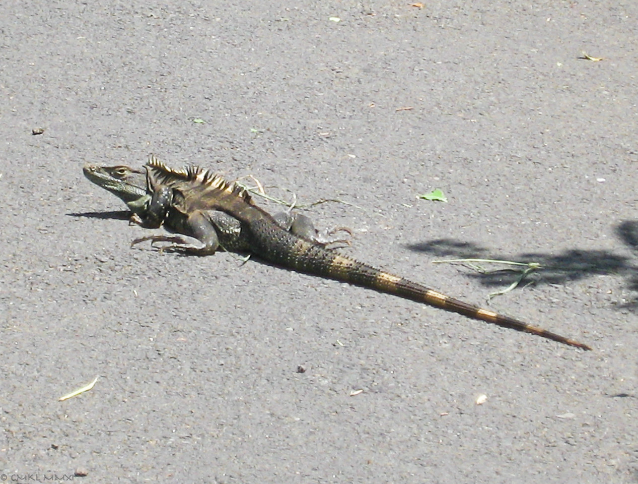 'Black Iguana'<br /> Ctenosaura similis, Gray 1831, Iguanidae,<br /> only about 60cm