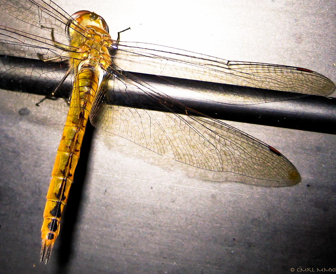 This dragon fly accidentally flew into the house. That didn't please it, so there was a lot of angry buzzing & hopping around. Eventually I was able to guide it back out through an open window.