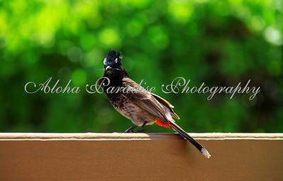 Pycnonotus; cafer; Red; vented; Bulbul; OAHU