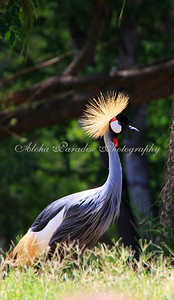 GRAY CROWNED CRANE, HONOLULU ZOO