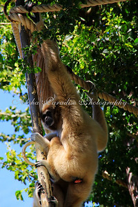 WHITE HANDED GIBBON, HONOLULU ZOO