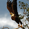 Bald Eagle at our cabin near Minong WI - Caought in initial flight take off mode