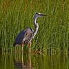 Great Blue Heron at North Twin Lake WI