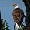 Bald Eagle at our cabin near Minong WI - Just sitting and watching us