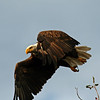Bald Eagle at our cabin near Minong WI - taking flight
