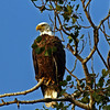 Bald Eagle at our cabin near Minong WI -