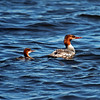 Common Merganser female and young at Lake Superior Wisconsin Point