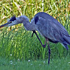 Great Blue Heron at Crex Meadows - Wi