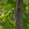 Red Eyed Vireo at Nambegon River