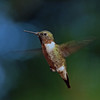 Ruby Throated Hummingbird at cabin