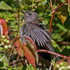 Catbird Immature in fall at Minong Flowage park