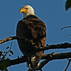 Bald Eagle In tree behind our cabin - Minong WI