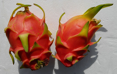 © Joseph Dougherty. All rights reserved.   A pair of ripe Dragon Fruit.   Hylocereus undatus   You, too, can grow this wonderful plant.  Visit  http://www.ecology.org/tropicals to learn more and order a plant of your own.