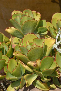 © Joseph Dougherty. All rights reserved.   Cotyledon orbiculata. Family CRASSULACEAE.  Common Name: Green Paddle Plant It is native to South Africa