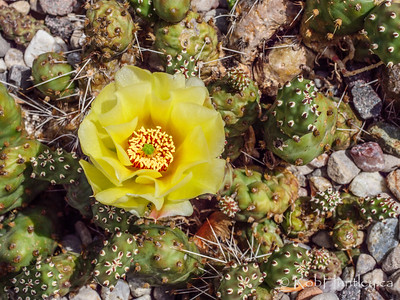 "Opuntia fragilis ""Bronze Beauty"""