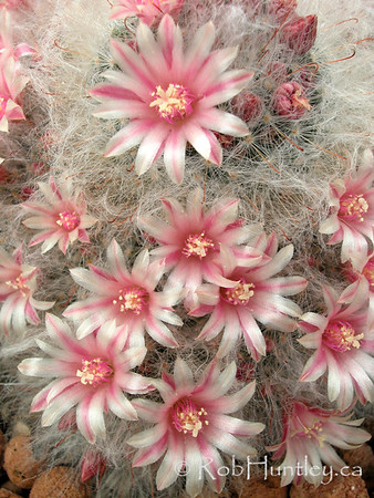 Mammillaria species in a nursery. Pin cushion cactus. © Rob Huntley