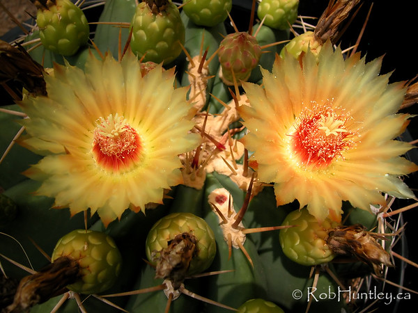 Ferocactus species in a nursery near Phoenix, Arizona. © Rob Huntley