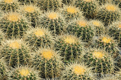 Grouping of Echinocactus grusonii - Golden Barrel Cactus