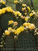 Prickly Pear blossoms, TX (6)