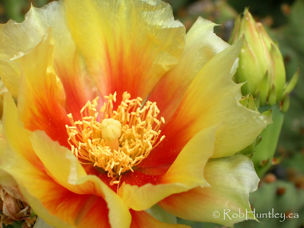 Opuntia humifusa. A species of winter-hardy prickly pear cactus growing in my Ottawa, Ontario garden. © Rob Huntley