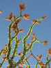 Ocotillo bloom and leaves (3)