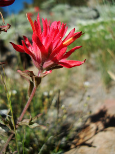 Indian Paintbrush - Death Valley