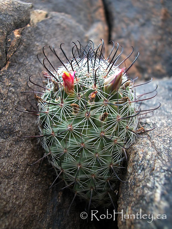 Desert habitat photo of a Mammillaria species (pin-cushion cactus) in Arizona. Possibly Mammillaria grahamii.  License this photo on Getty Images  © Rob Huntley