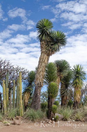 Columnar Cacti and Yucca Trees