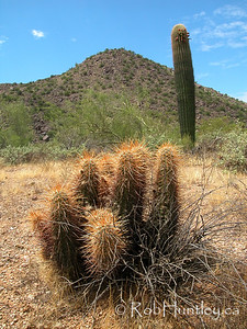 Desert habitat photo in Arizona showing a saguaro (Carnegia gigantea) and a hedgehog cactus (Echinocereus species). © Rob Huntley
