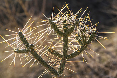 Needle Cactus - Valley of Fire State Park Nevada