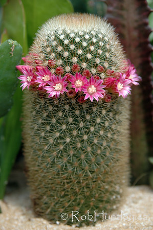 A flowering Mammillaria species of cactus. Pincushion cactus.  © Rob Huntley