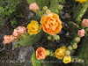 Prickly Pear blossoms, TX (8)