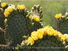 Prickly Pear blossoms, TX (5)