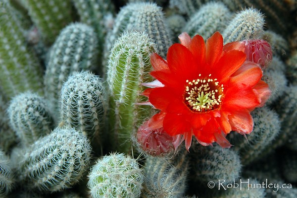 Cactus with orange flower. Chamaecereus silvestrii cactus with orange bloom.  © Rob Huntley