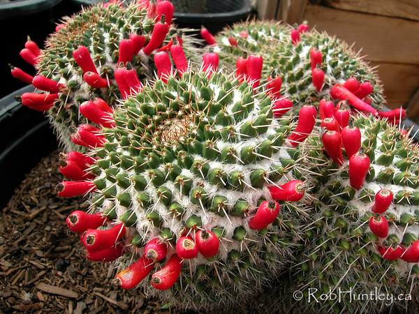 Pin cushion cactus showing seed pods. Mammillaria species in a nursery near Phoenix, Arizona. © Rob Huntley