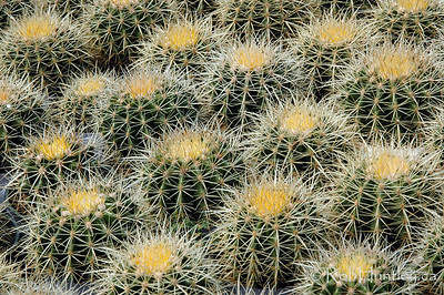 Collection of Golden Barrel Cactus - Echinocactus grusonii also known as Mother-in-Laws-seat.  © Rob Huntley
