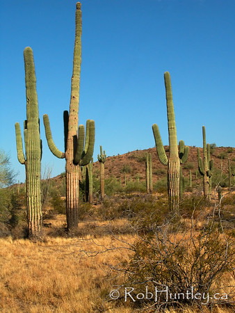 Habitat photo of saguaros (Carnegia gigantea) in Arizona. © Rob Huntley