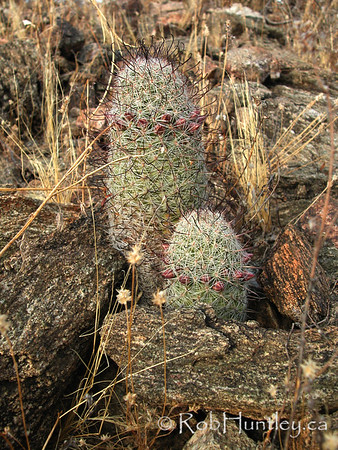 Pincushion cactus. Mammillaria species cactus in desert habitat in Arizona. Possibly Mammillaria grahamii. © Rob Huntley