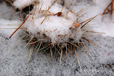 Snow urchin.... Well it looks like a snow-covered sea urchin I think. Actually it is a snow-covered prickly pair, Opuntia hybrid 'Nikolaj' in my winter hardy cactus garden. © Rob Huntley