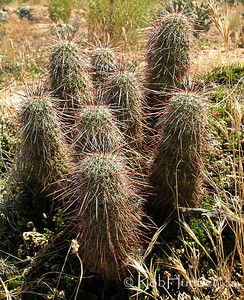 Desert habitat photo in Arizona showing a hedgehog cactus (Echinocereus species). © Rob Huntley