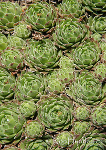 Hens and chicks sedum succulent garden plant.  © Rob Huntley