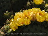 Prickly Pear blossoms, TX (7)