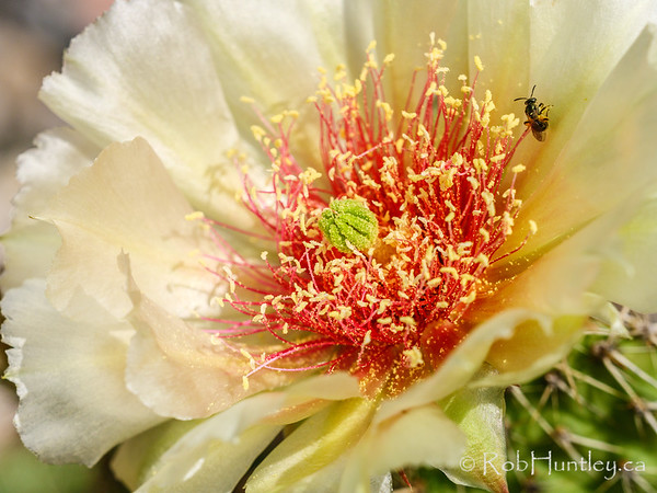 Pollinator on a Prickly Pear Cactus Bloom