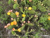 Prickly Pear blossoms, TX (10)