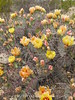 Prickly Pear blossoms, TX (4)