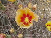Prickly Pear blossoms, TX (2)