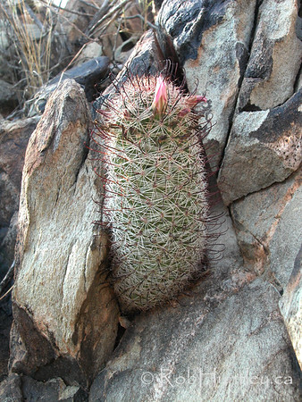 Desert habitat photo of an Mammillaria species (pin-cushion cactus) in Arizona. Possibly Mammillaria grahamii. © Rob Huntley
