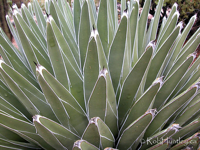 Agave succulent plant. © Rob Huntley