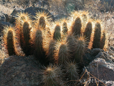 Desert habitat photo of a backlit Echinocereus species (hedgehog cactus) in Arizona. © Rob Huntley